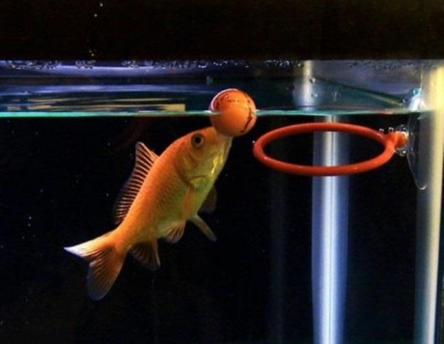 Training your goldfish to do tricks